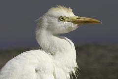 Koereiger | Western Cattle Egret