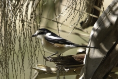 Maskerklauwier | Masked Shrike