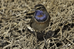 Roodsterblauwborst   Red spotted bluethroat
