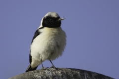 Rouwtapuut   Mourning Wheatear