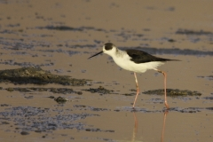 Steltkluut | Black winged Stilt