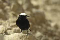 Witkruintapuit   White crowned Black Wheatear