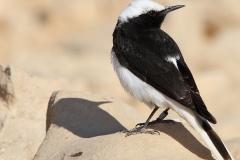 vogelreis Eilat maart 2009