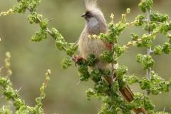 Bruine Muisvogel Speckle Mousbird