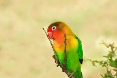 Fischers Agapornis Lovebird
