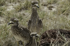 Griel Eurasian | Stone curlew
