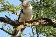 Grijskuifklauwier | Grey chrested Helmet shrike
