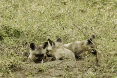 Groot oor vos | Bat eared Fox