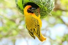 Kleine Textorwever | Lesser masked Weaver