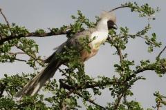 Maskertoerako | Bare faced Go away bird