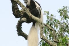 Oostelijke franjeaap | Black and white Colobus monkey
