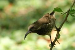 Roodborst nectarvogel | Hunters sunbird