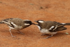 White browed | Sparrow Weaver