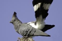 Witbuiktoerako | White belied Go away bird§