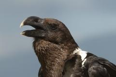 Witnekraaf Corvis albicollis
