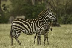 Zebra | Common Zebra