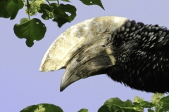 Zilveroor neushoornvogel | Silver cheeked Hornbill