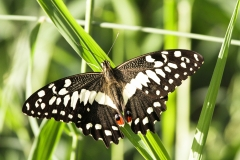 lemoenvlinder