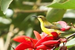 Vogels-indonesie-10