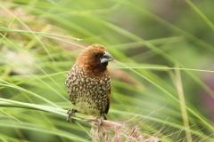 Vogels-indonesie-11