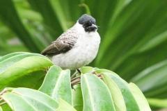 Vogels-indonesie-12