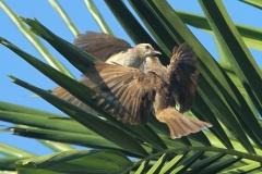 Vogels-indonesie-13