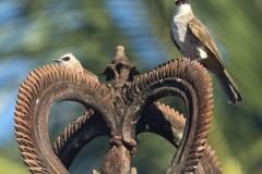 Vogels-indonesie-14