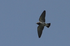 Vogels-indonesie-15