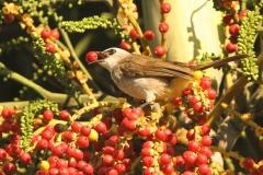 Vogels-indonesie-16