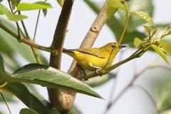 Vogels-indonesie-17