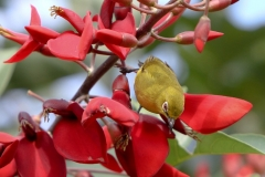 Vogels-indonesie-18