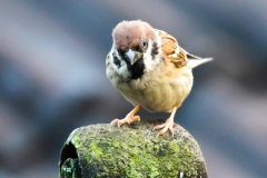 Vogels-indonesie-20