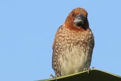 Vogels-indonesie-21