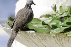 Vogels-indonesie-22