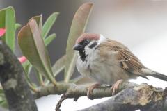 Vogels-indonesie-23