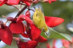 Vogels-indonesie-25