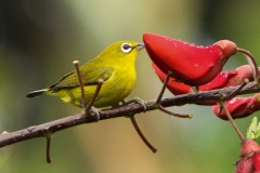 Vogels-indonesie-26