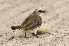 Vogels-indonesie-27