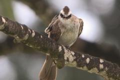 Vogels-indonesie-28