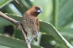 Vogels-indonesie-29