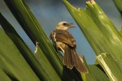 Vogels-indonesie-30