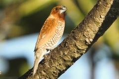 Vogels-indonesie-31