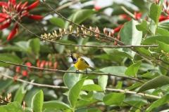 Vogels-indonesie-36