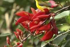 Vogels-indonesie-37