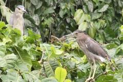 Vogels-indonesie-38