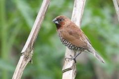 Vogels-indonesie-4