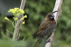 Vogels-indonesie-6
