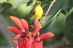 Vogels-indonesie-7