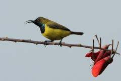 Vogels-indonesie-8