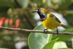 Vogels-indonesie-9